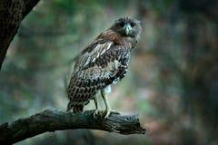 Brown-Fisch-Eule, Ketupa-zeylonensis, seltener Vogel von Asien Schöne Eule Indiens im Naturwaldlebensraum Vogel von Ranthambore, Stockbilder