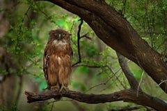 Brown-Fisch-Eule, Ketupa-zeylonensis, seltener Vogel von Asien Schöne Eule Indiens im Naturwaldlebensraum Vogel von Ranthambore,  stockbild