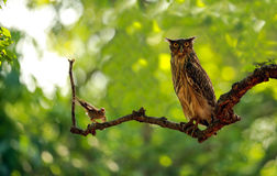 Brown Fish Owl. A babbler harassing a brown fish owl on a tree stock photo