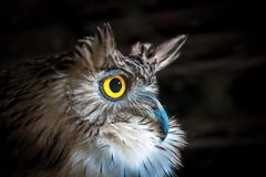 Brown Fish Owl, on black background. stock image