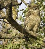 Brown Fish owl. In a broad day light staring at Camera in Sasan Gir Royalty Free Stock Image