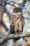 Brown Fish owl closeup Royalty Free Stock Photos