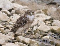 Brown Fish Owl (Ketupa Zeylonensis) Stock Photo