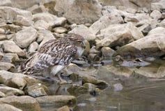 Brown Fish Owl (Ketupa Zeylonensis) Stock Photos