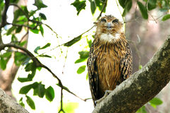 Brown Fish Owl. Is a large owl with prominent ear and tufts Royalty Free Stock Images