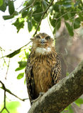 Brown Fish Owl. Is a large owl with prominent ear and tufts Stock Images