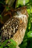 Brown Fish Owl royalty free stock image