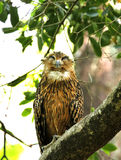 Brown Fish Owl perched on a tree Royalty Free Stock Image
