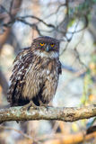 Brown Fish owl perching Royalty Free Stock Image