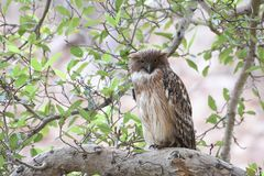 Brown Fish Owl resting on tree perch. In Ranthambore national park Stock Photo