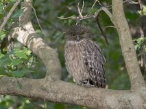 Brown fish owl sitting on a tree branch Royalty Free Stock Photography