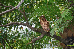 Brown Fish Owl sitting on a tree branch Royalty Free Stock Images