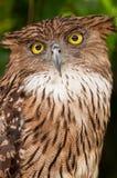 Brown Fish Owl Royalty Free Stock Photos