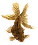 Brown fish (watercolor drawing). Brown fish on a white background (watercolor drawing Stock Photos