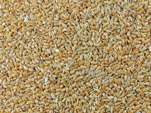 BROWN FLAX SEEDS (Linum usitatissimum) Royalty Free Stock Photo