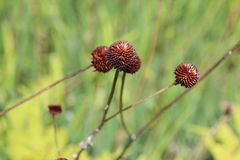Brown flowers Growing Royalty Free Stock Images