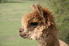 Brown and fluffy Alpaca Royalty Free Stock Photography