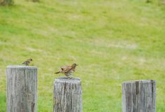 Fluffy sparrow on log in public park Stock Images