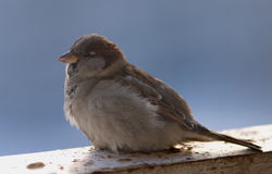 Brown fluffy sparrow sits on a beam. Small brown fluffy sparrow sits on a beam Royalty Free Stock Photography