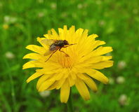 Brown fly on flower Royalty Free Stock Photo