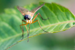Brown fly on green leaf. Stock Images