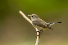 Brown Flycatcher (Muscicapa latirostris) Stock Photos