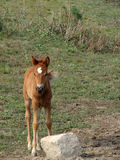 Brown Foal. Baby horse/ foal on a grass field Royalty Free Stock Photos
