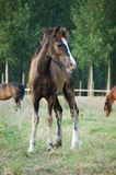 Brown foal Stock Photography