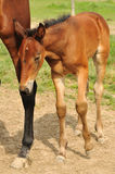 Brown foal Royalty Free Stock Photos