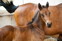 A brown foal Stock Photography