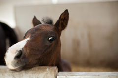 A brown foal royalty free stock image