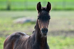 A brown foal Stock Image