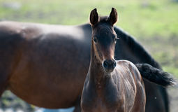 A brown foal royalty free stock photo