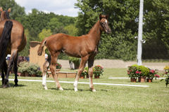 Brown foal auction. A sporty brown foal standing next to a mare is offered for sale at auction Stock Photos