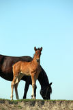 Brown foal and black mare Stock Photo