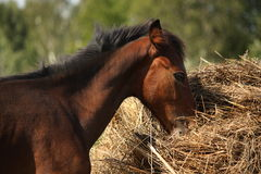 Brown foal eating dry hay in summer Stock Photos