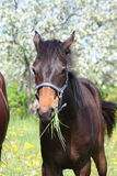 Brown foal eating grass Stock Image