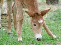 Brown foal eating grass in spring time Royalty Free Stock Photo