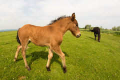 Brown foal on the fild Stock Images