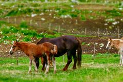 brown foal grazes royalty free stock image
