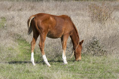 Brown foal grazing in the meadow. Brown little horse grazing in a meadow in sunny autumn day Royalty Free Stock Photography