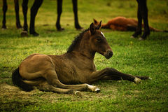 Brown foal Royalty Free Stock Image