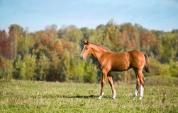 Brown Foal on the green Field Royalty Free Stock Photography