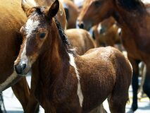 Brown foal in herd of horses Royalty Free Stock Photography