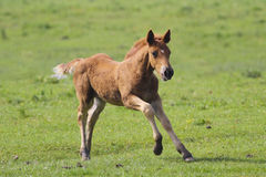Brown foal  jumping Stock Photos