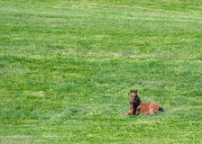 Brown Foal Lays in Green Field. With copy space Royalty Free Stock Image