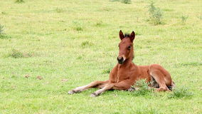 Brown foal lying on field Stock Image