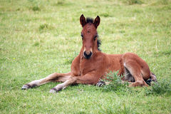 Brown foal lying on meadow Royalty Free Stock Photos