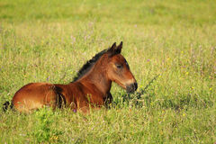 Brown foal lying in pasture Royalty Free Stock Image