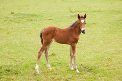 Brown foal in meadow Royalty Free Stock Images